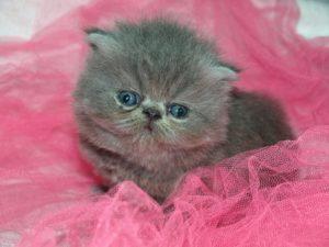 cute grey kitten sitting on pink pillow