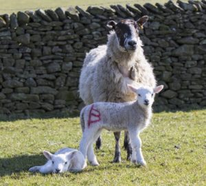 lambs with mother sheep numbered lamb