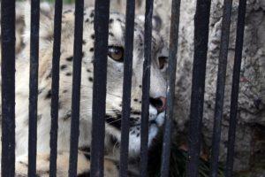 snow leopard behind bars sad