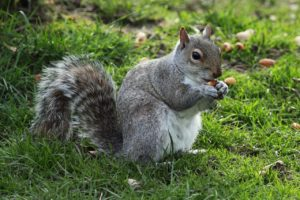 gray squirrel eating nut on green grass nutrients from plants selenium