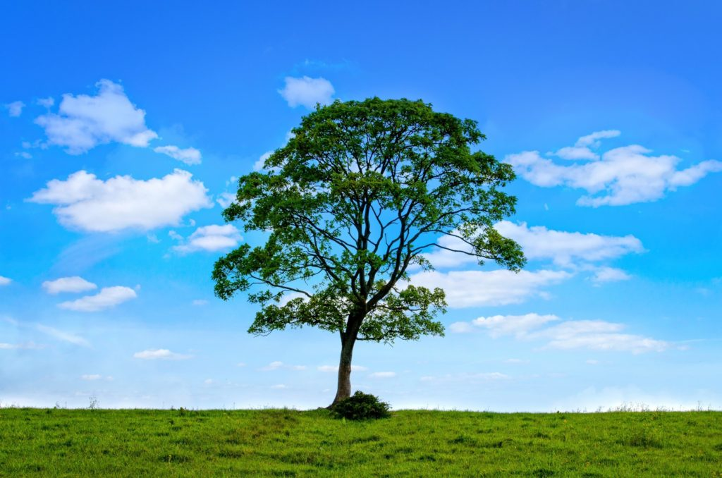 tree with green leaves on green grass with blue sky in the background