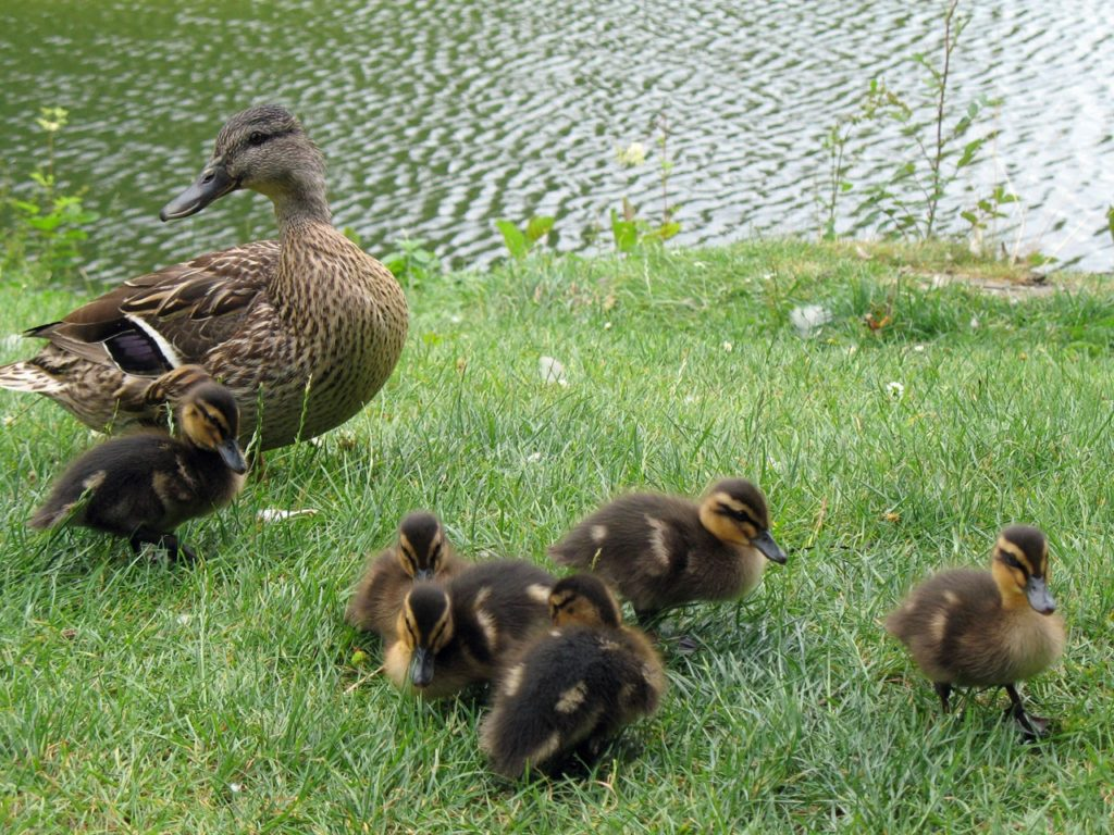 mother duck brown with brown ducklings baby ducks small ducks cute natural products nature