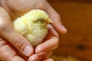 chicken baby chick yellow sitting in persons hands