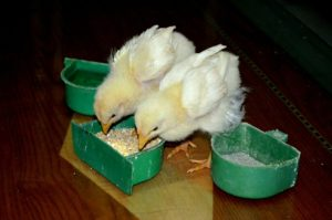 2 chickens cute yellow baby chicks feeding eating food rice contains arsenic