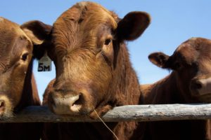 three brown cows with tags on ears behind fence