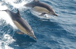 two bottle nose dolphins swimming and jumping out of the water
