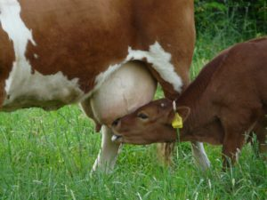 calf suckling yellow ear tag transition to a vegan diet