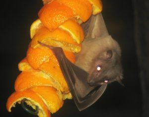 Egyptian fruit bat from cotswoldwildlifepark.co.uk dietary myths