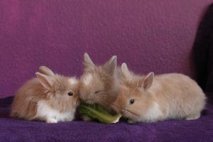3 cute rabbits sharing lettuce leaf transitioning to a vegan diet