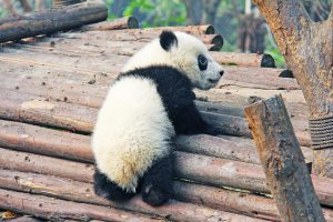 panda black and white climbing logs how you can help
